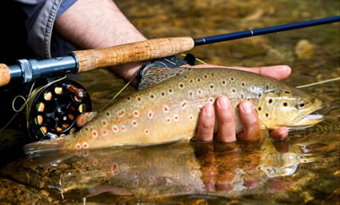 Fly caught Brown Trout