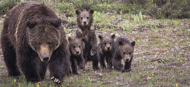 Grizzly and bear cubs